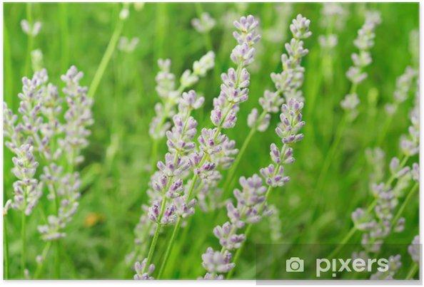 Plakat Kwiaty lawendy - Wolność