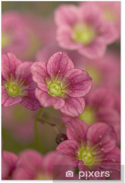 Plakat Kwiaty skalnica (Saxifraga arendsii) - Kwiaty