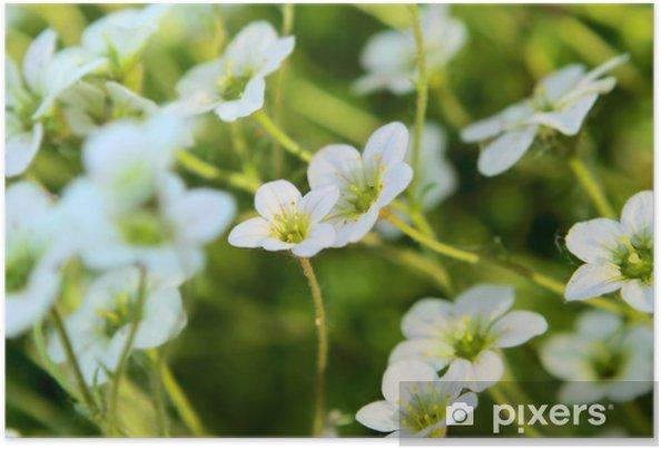 Plakat Kwiaty skalnica - Kwiaty