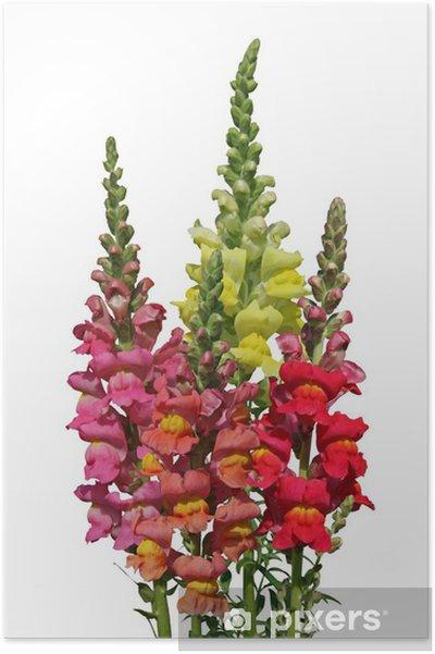 Plakat Kwiaty Snapdragon - Kwiaty