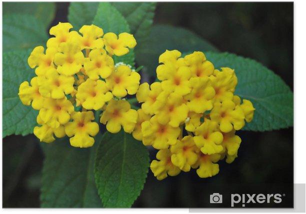 Plakat Kwiaty żółte lantanu - Kwiaty