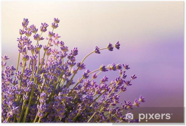 Plakat Kwitną kwiaty lawendy czas letni - Zioła