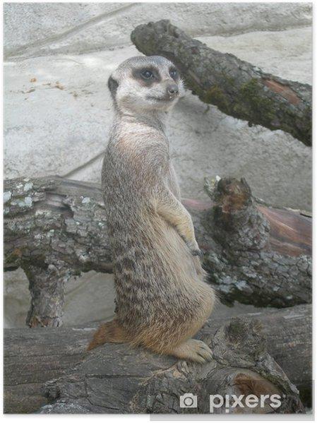 Plakát La Sentinelle suricate - Savci