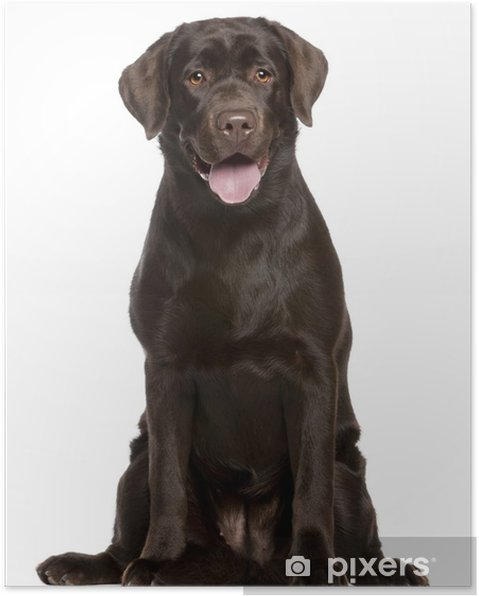 Plakát Labradorský retrívr, 7 měsíců starý, sedící - Savci