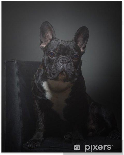 Plakat Ładny czarny francuski buldog pozuje do kamery na krześle - Buldogi francuskie