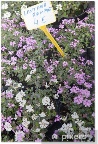 Plakát Lantana nekontrolovatelná - Rostliny
