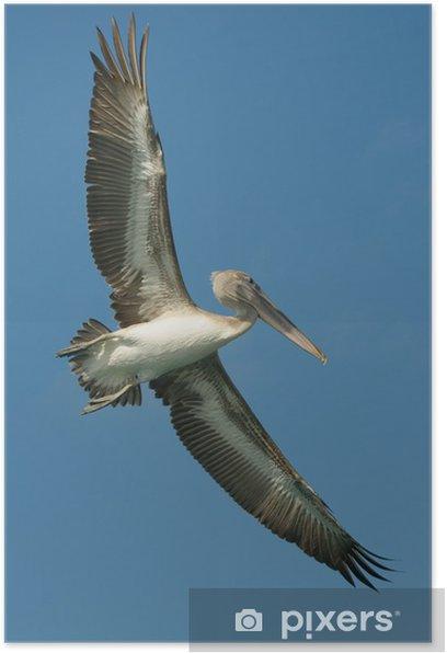 Plakat Lecący pelikan, Los Roques Wyspy, Wenezuela - Ameryka