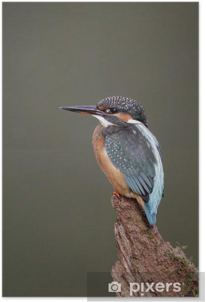 Plakát Ledňáček říční (Alcedo atthis) - Ptáci