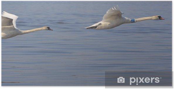 Plakát Létající labutě - Úspěch