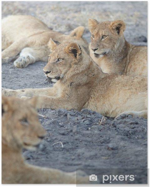 Plakat Lions w spoczynku - Tematy