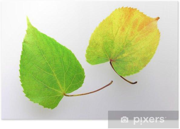 Plakat Liść lipy - Drzewa
