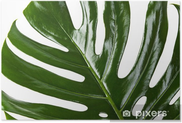 Plakat Liścia Monstera - Rośliny