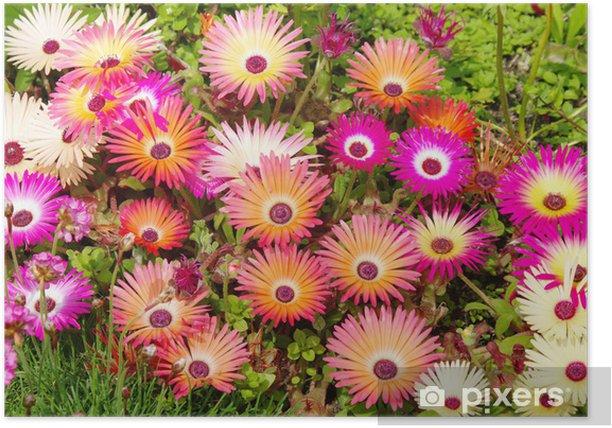Plakat Livingstone Daisy - Kwiaty