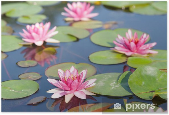 Plakat Lotus w stawie. - Kwiaty