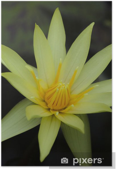 Plakat Lotus09 - Kwiaty