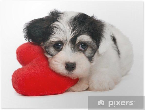 Plakat Lover Valentine Hawańczyk puppy z czerwonym sercem - Szczęście
