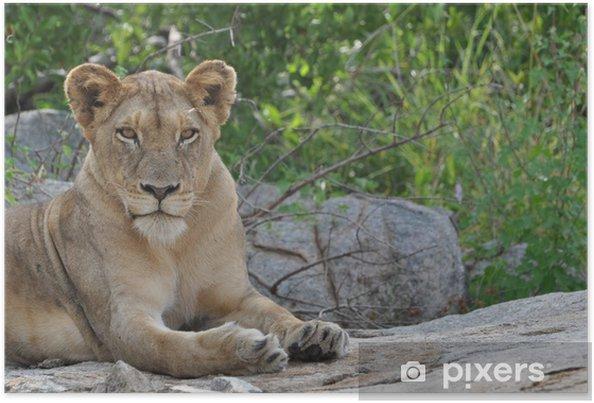Plakát Löwe entspannt sich auf Felsen - Témata
