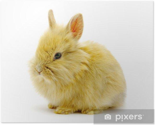 Plakat Mały brązowy królik - Króliki