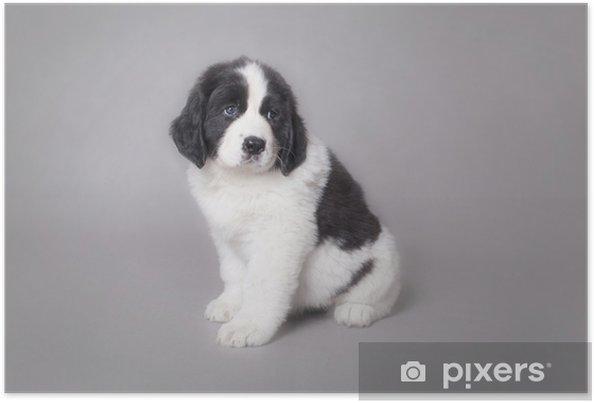 Plakát Malý Landseer štěně portrét - Savci