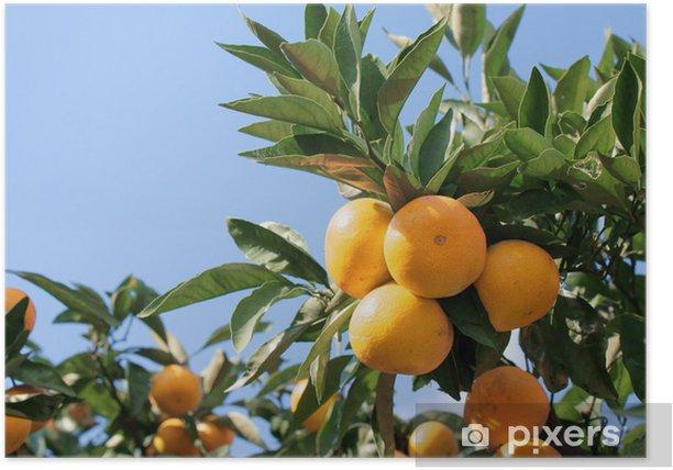 Plakat Mandarynka - Owoce