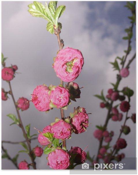 Plakát Mandloň - Rostliny