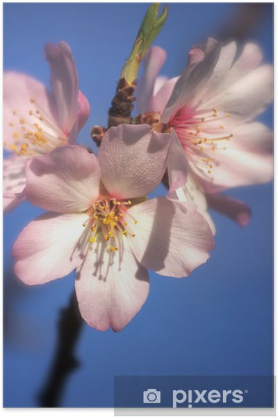 Plakát Mandlový květ květina - Stromy