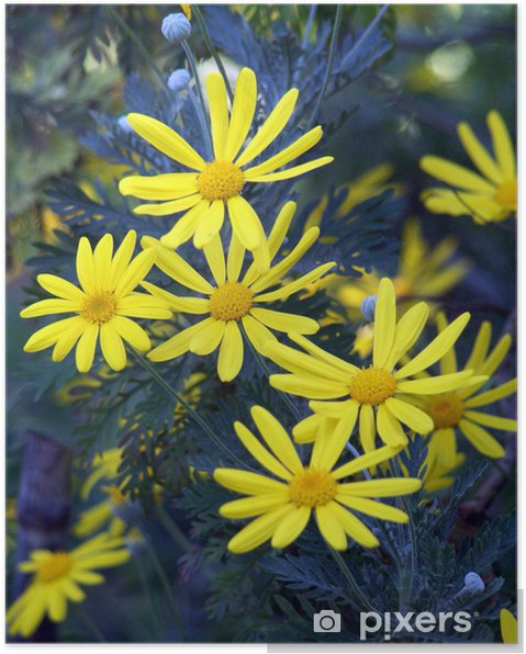 Plakát Margherite Gialle - Euryops pectinatus - Květiny