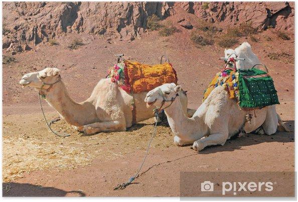 Plakat Maroko, Marrakesz: Wielbłądy - Ssaki