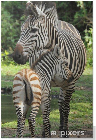 Plakat Matka i dziecko zebra - Tematy