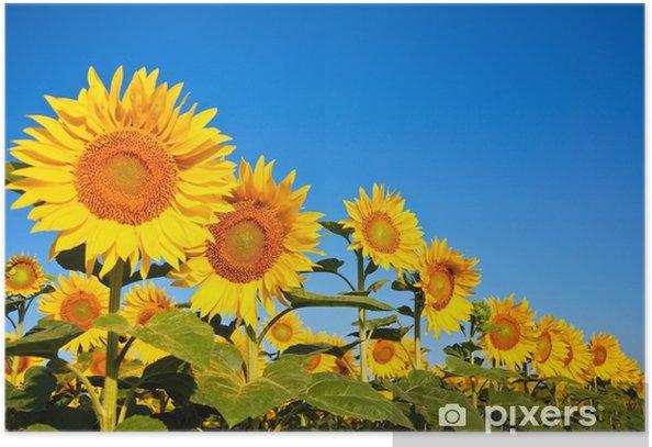 Plakát Mehrere Sonnenblumen - Zemědělství