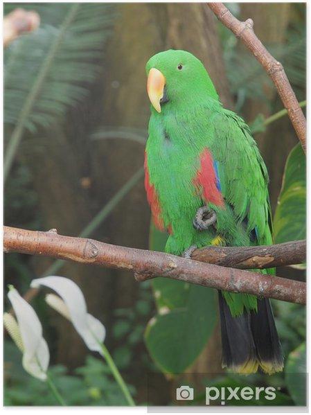 Plakat Mężczyzna Parrot Eclectus, Eclectus roratus - Tematy