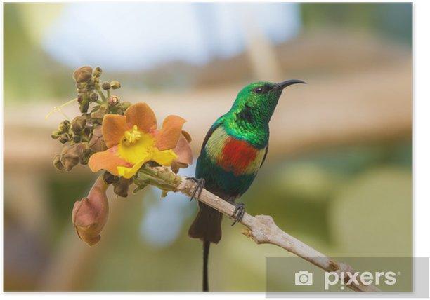Plakat Mężczyzna Piękne Sunbird z żółtym kwiatem - Ptaki