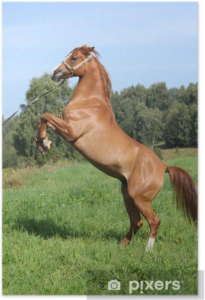 Plakat Młody koń arabski pyszałkowaty - Ssaki