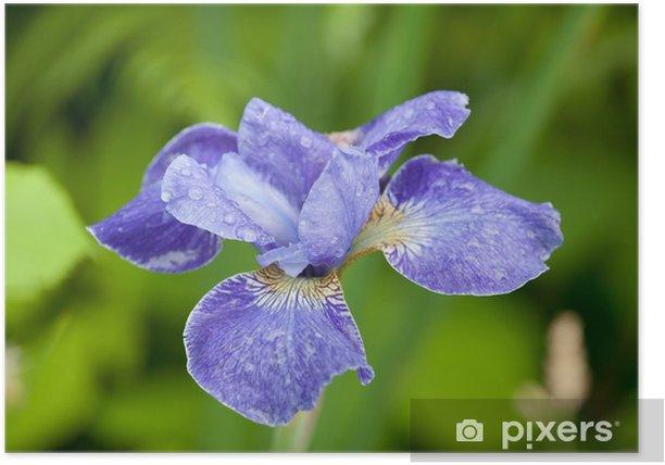 Plakát Modrá iris květina -