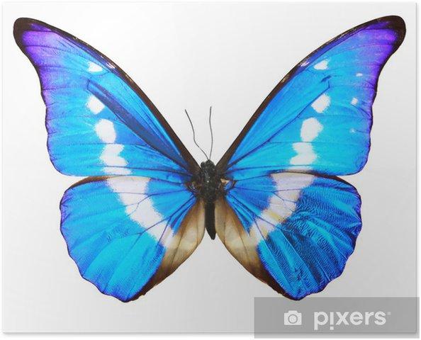 Plakát Modrý motýl (Morpho Rhetenor cacica) izolované - Ostatní Ostatní