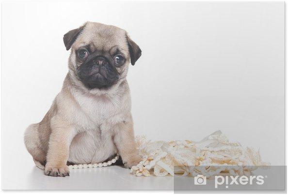 Plakát Mops štěně na bílém pozadí - Savci