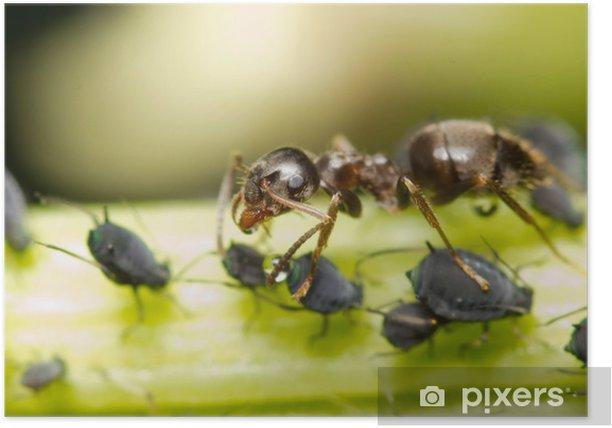 Plakát Mravenec extrahování medovice mšic z - Ostatní Ostatní