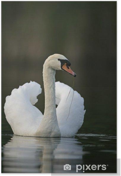 Plakat Mute Swan - Cygnus olor - Ptaki