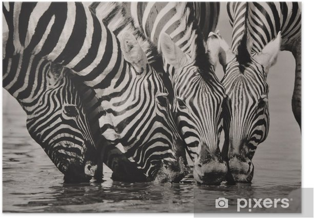 Plakát Namibie Zebra SW - Témata