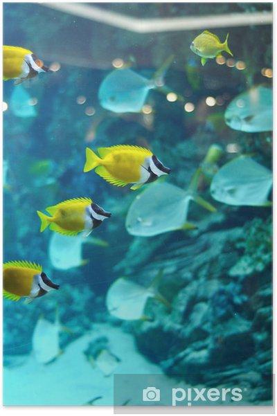 Plakát Několik foxface ryby - Vodní a mořský život