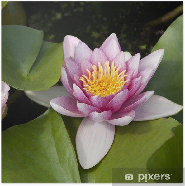 Plakát Nenufar - Květiny