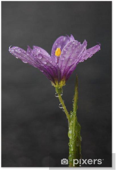 Plakat Niebieskooka Trawy (Sisyrinchium sp.) kwiat - Kwiaty