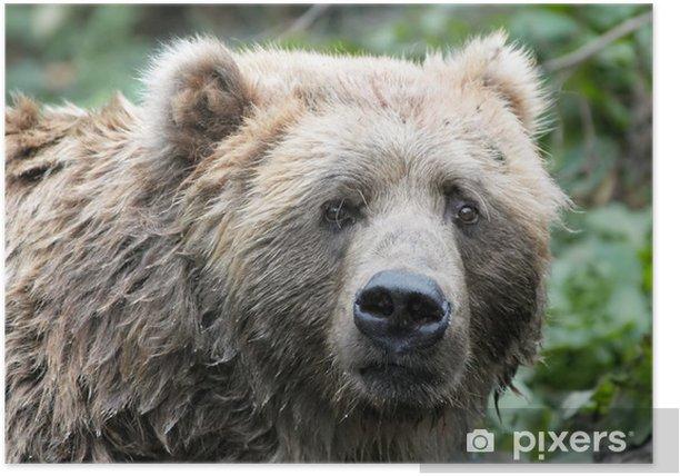 Plakat Niedźwiedź brunatny - Tematy