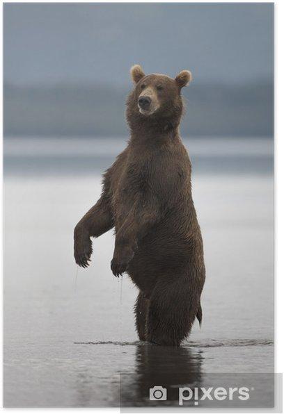 Plakat Niedźwiedź wstał na tylnych łapach - Ssaki