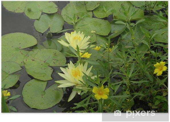 Plakat Nymphaea - Kwiaty
