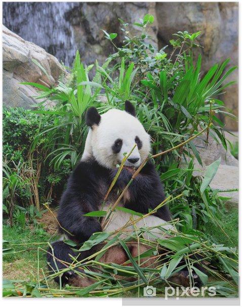 Plakát Obří panda jíst bambus - Témata