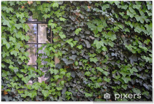 Plakat Okno na dom pokryte Bluszcz w Cambridge - Edukacja