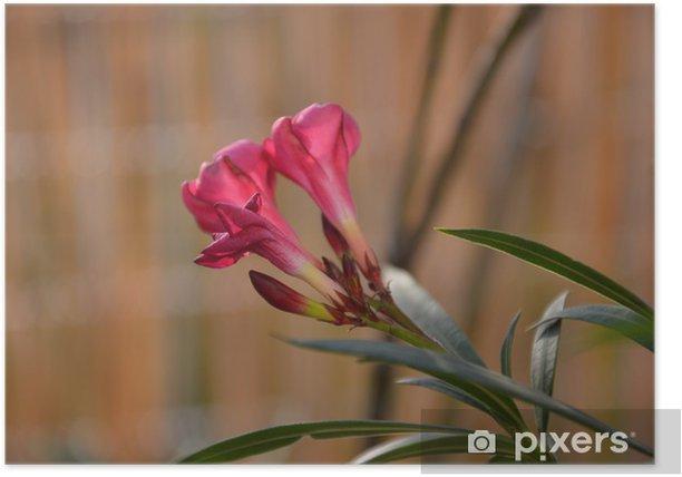 Plakat Oleander - Kwiaty