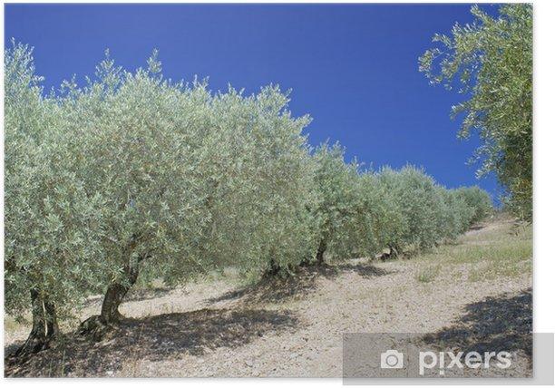 Plakát Olivovník. Provence. - Evropa