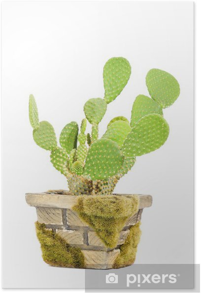 Plakat Opuntia microdasys (Bunny Ears Cactus) w puli samodzielnie na białym tle - Dom i ogród